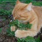 catnip-gato-planta