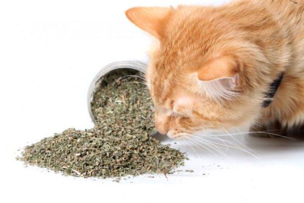 Catnip seco para gatos