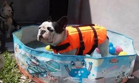 Bulldog francés con chaleco salvavidas